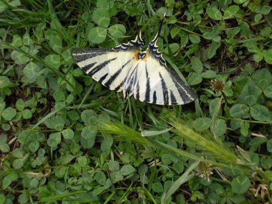 papillon.jpg